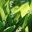 Background with fresh lily of the valley flowers — Stock Photo
