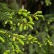 Spruce branch with fresh sprouts — Stockfoto