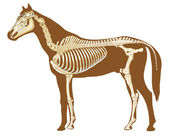 Horse skeleton — Stock Photo