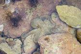 Octopus on the rocks — 图库照片