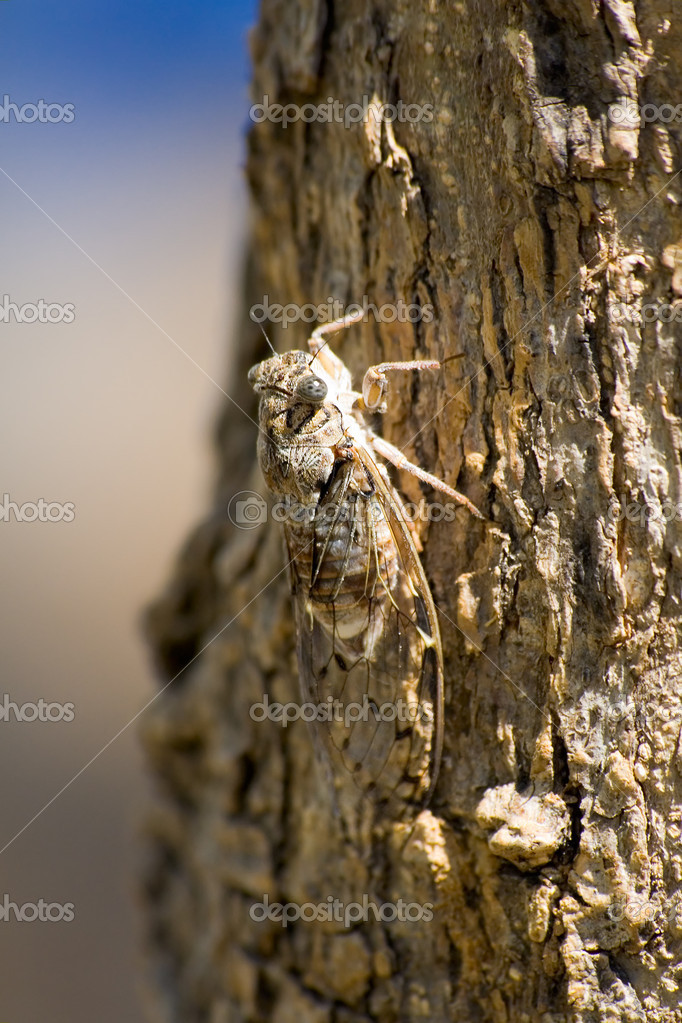 Cicada on the tree  Stock Photo #10724781