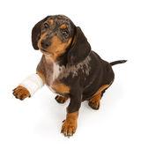 Dachshund Puppy With Injured Leg Isolated on White — Stock Photo