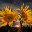 Two sunflowers at sunset — Stock Photo