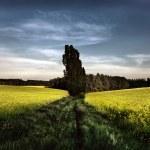 Canola field at dusk — Stock Photo
