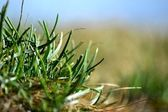 A tuft of grass — Stock Photo