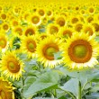 thumbnail of Sunflowers