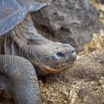 thumbnail of Galapagos tortoise