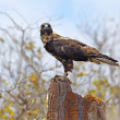 thumbnail of Galapagos Hawk on Santa Fe