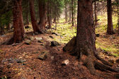 Old pine forest