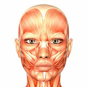 Anatomie ženské lidskou tvář