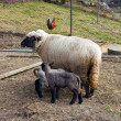 thumbnail of Sheep with babies