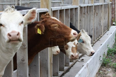 Постер, плакат: Cows in Transfer Holding Pen, холст на подрамнике