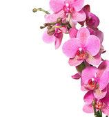 Close-up di orchidea rosa isolato su sfondo bianco