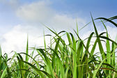 Cukrová třtina pole v modré oblohy a bílý oblak
