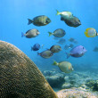 thumbnail of School of Surgeonfish
