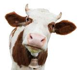 Junge Kuh, die isoliert auf weiss