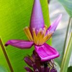 thumbnail of Banana blossom