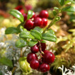 thumbnail of Fresh red cranberries
