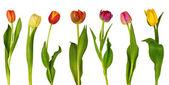 Színes tulipán