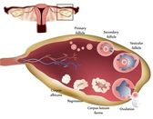 Ovary and ovulation process
