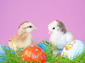 Two tiny easter chicks in grass