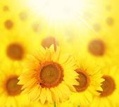 Rozkvetlé slunečnice podsvíceny slunce v zahradě