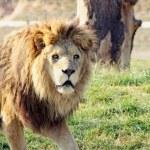 Stunning lion