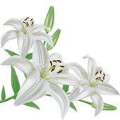 Bouquet di fiori di giglio bianco realistico, isolato su sfondo bianco, vettoriale
