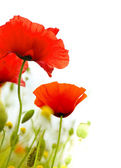 Wildflowers poppies flowers white background