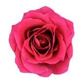 červená růže květ izolovaných na bílém pozadí
