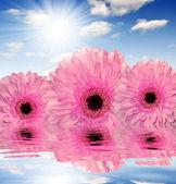 Rózsaszín Gerbera