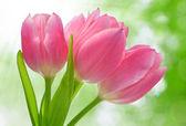 Růžová Tulipán