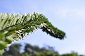 Kaktus strom
