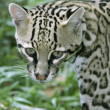 thumbnail of Belize, Belize City, zoo, ocelot