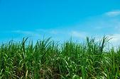 Pole cukrové třtiny na pozadí modré oblohy