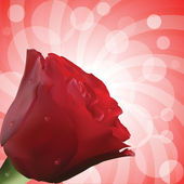 Red rose with realistic petals and water droplets on red circular background