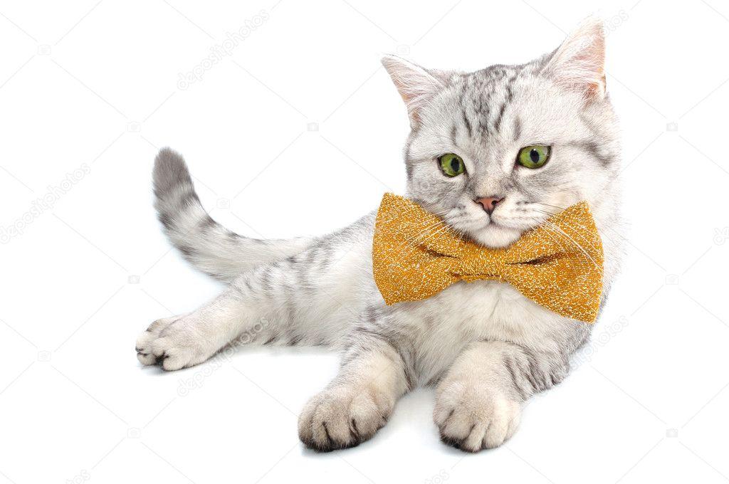 belle jeune silver tabby cossais chat chaton avec nud papillon sur fond blanc posant et en regardant la camra image de cherry merry