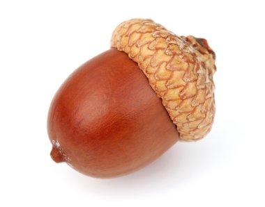 Dried acorn in closeup