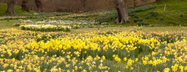 Daffodils surround trees in rural setting