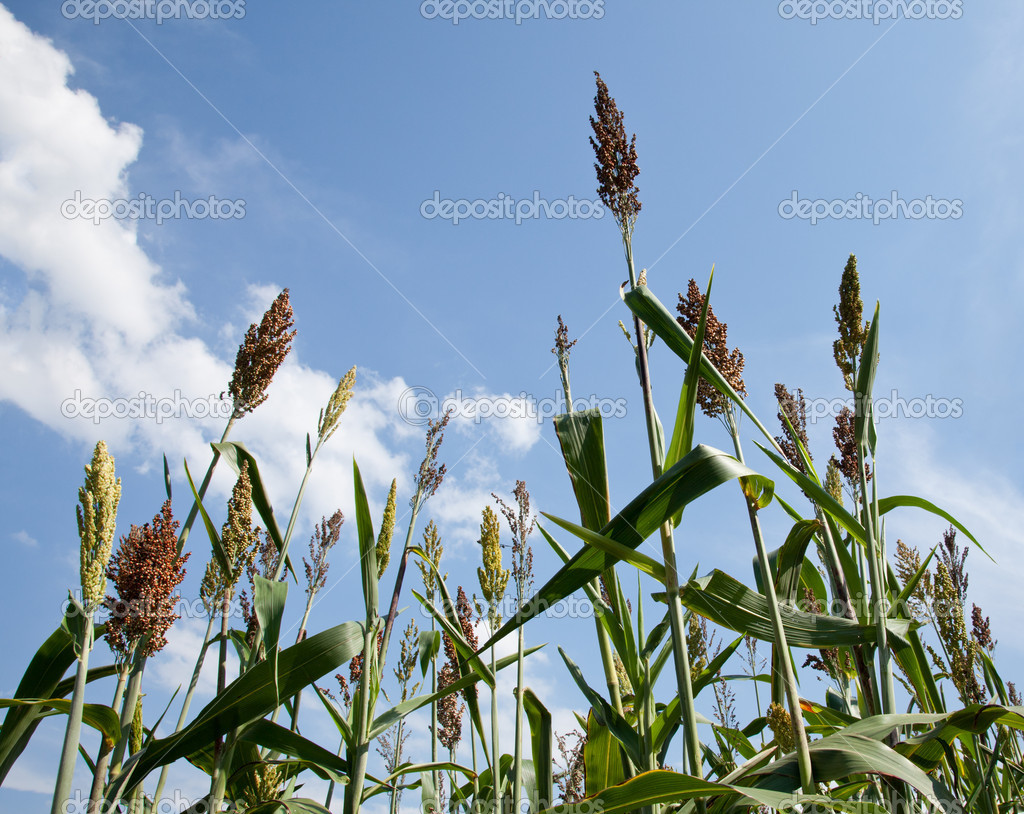Sorghum plants grown for ethanol and fuel