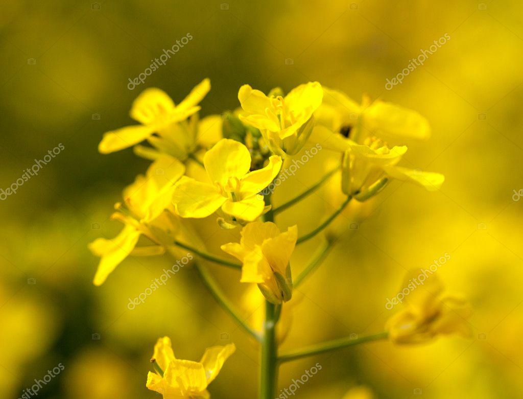 Raps Blomma Används För Olja Och Energi Stockfotografi Steveheap