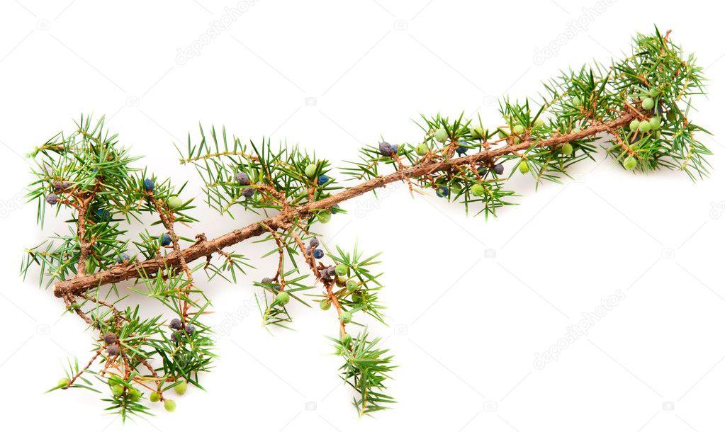 Juniper twig and berries