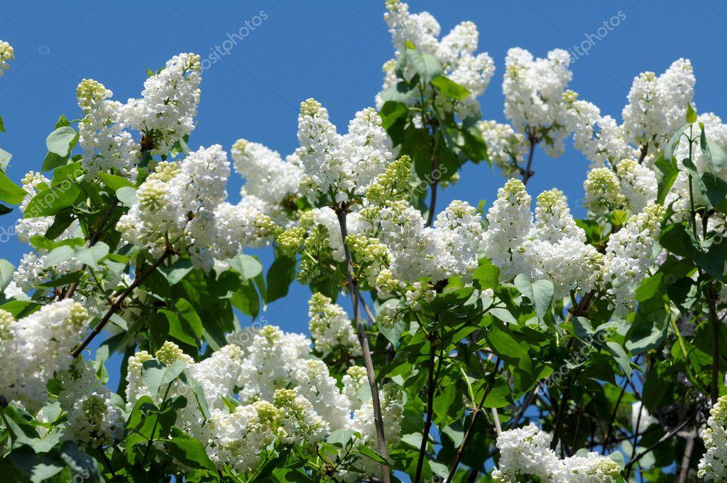 weiß blühende Flieder im Frühling — Stockfoto © DNKSTUDIO #10444832
