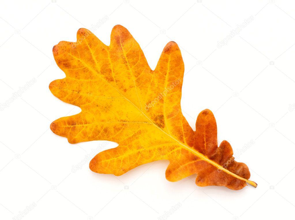 Colorful Autumn oak leaf