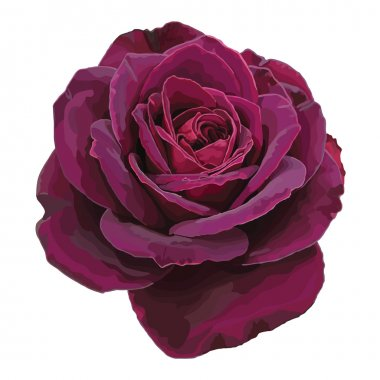 Purple rose vector