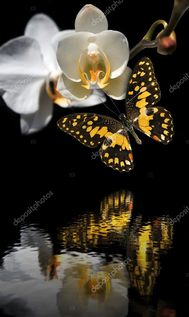 The butterfly on an orchid with reflection in water