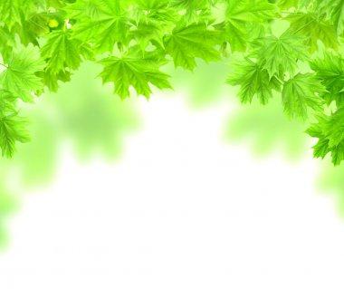 bir akçaağaç yaprakları ile bahar çerçeve