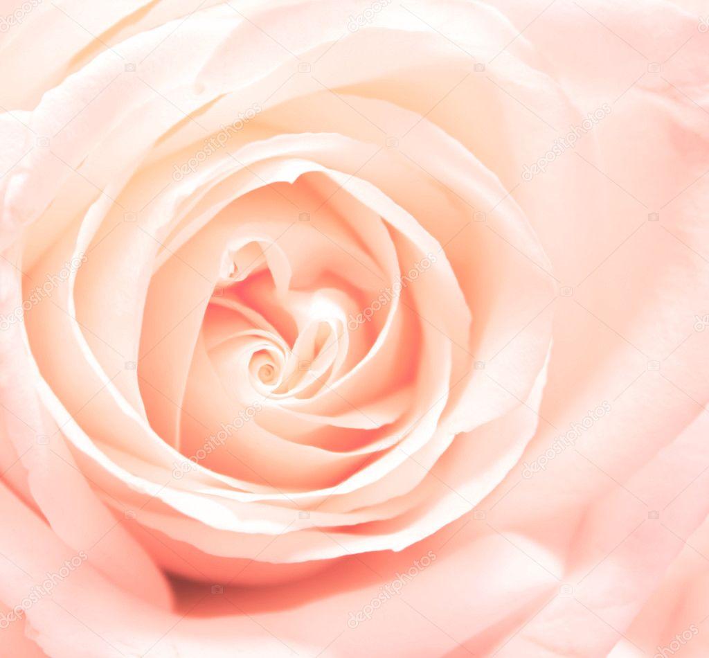 Softness pink rose