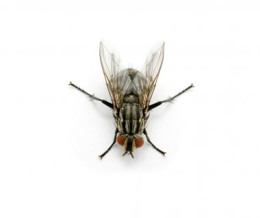 A macro shot of fly on a white background stock vector