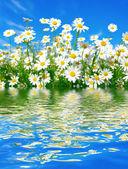 Fotografie White daisies